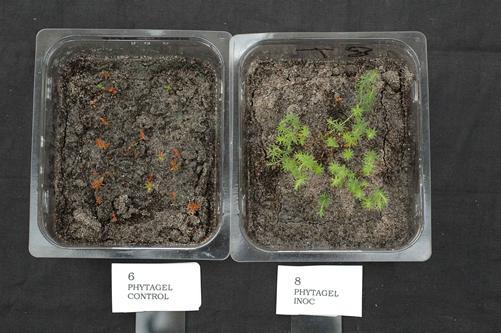 Woollsia_-/+mycorrhiza