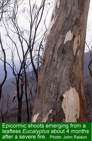 Epicormic shoots four months after a severe fire