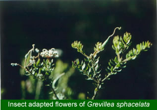 Bee adapted Grevillea sphacelata