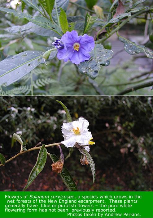 Solanum flowers