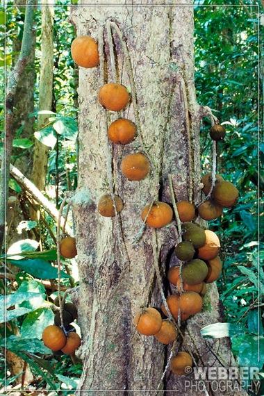 Ryparosa fruit